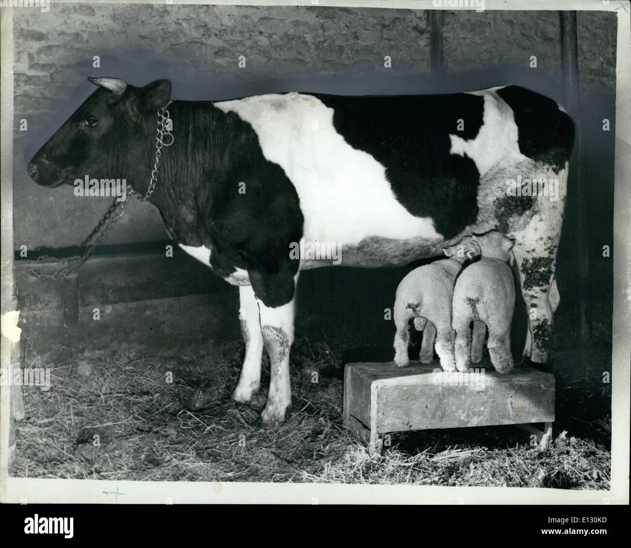 26. Februar 2012 - Kuh ist die Mutter Lämmer: zwei Lämmer, vor kurzem auf einem Bauernhof bei Allaire (Morbihan), Frankreich, geboren gefüttert von einer Kuh Rosett, bei ihrer Mutter, die wir nicht haben keine Milch, ein weiteres Problem stellte sich durch die Tatsache, das die Lämmer etwas klein, um waren Gendarmenmarktes erreichen ihre Nahrung. Eine Holzkiste war die Antwort. Fotoshows: Stehend auf einer Holzkiste, füttern die Lämmer von ihrer Pflegemutter. Stockbild