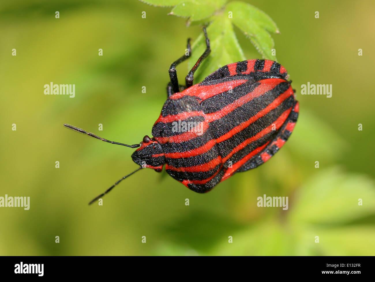 rot und schwarz italienische gestreifte k fer oder minnes nger bug graphosoma lineatum. Black Bedroom Furniture Sets. Home Design Ideas