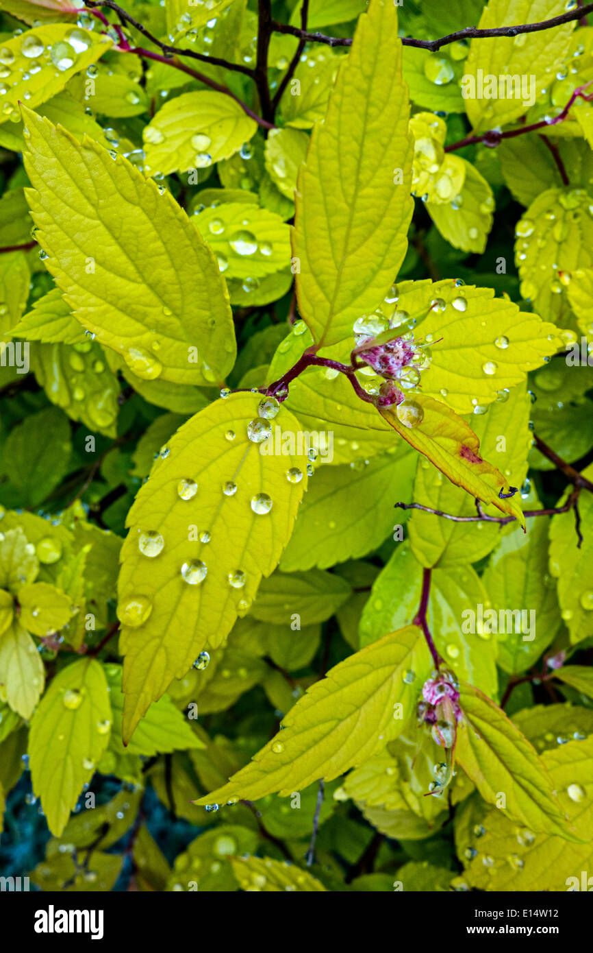 Funkelnde Perlen des Wassers auf die Blätter der Spirea Strauch nach einer Dusche Stockbild