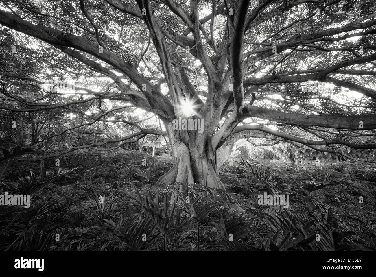 Weiße Feigenbaum (Higuera Blanca, mit geteilten Blatt Philodendron. Punta Mita, Mexiko. Stockbild