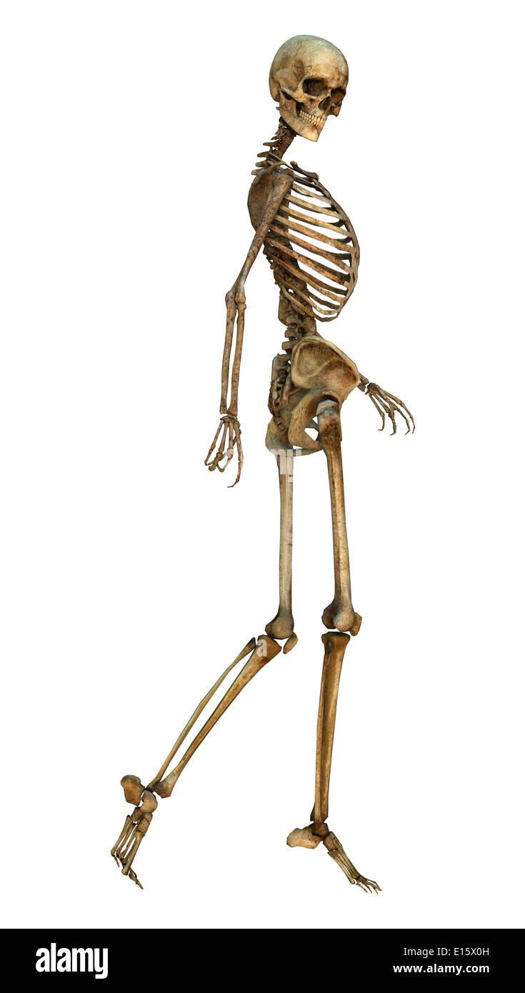 Digitale 3D Rendern von einer alten zu Fuß menschliches Skelett ...