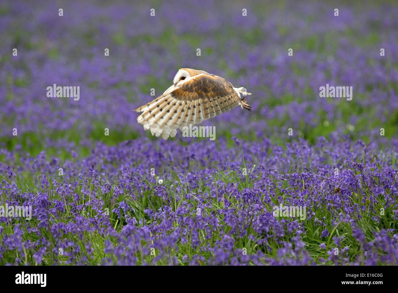 Schleiereule, Tyto Alba im Flug über Glockenblumen Stockbild