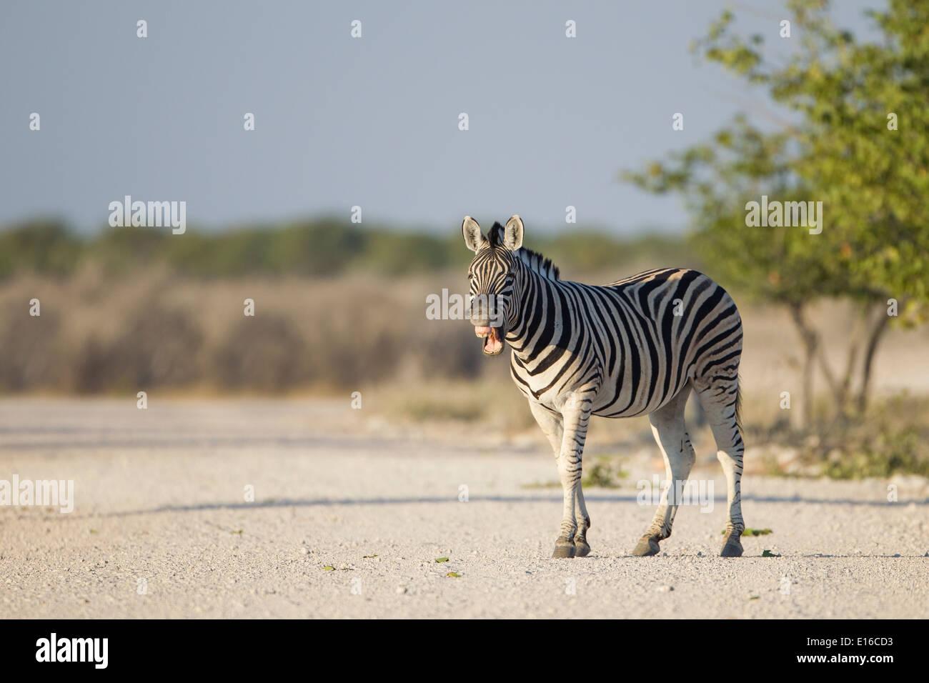 Zebra in Afrika Stockbild