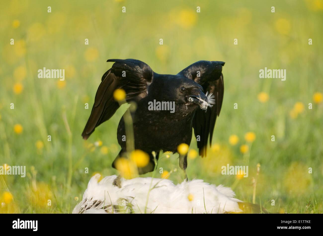 AAS-Krähe (Corvus Corone) ernähren sich von Knochen in einem Feld von Butterblumen Stockbild
