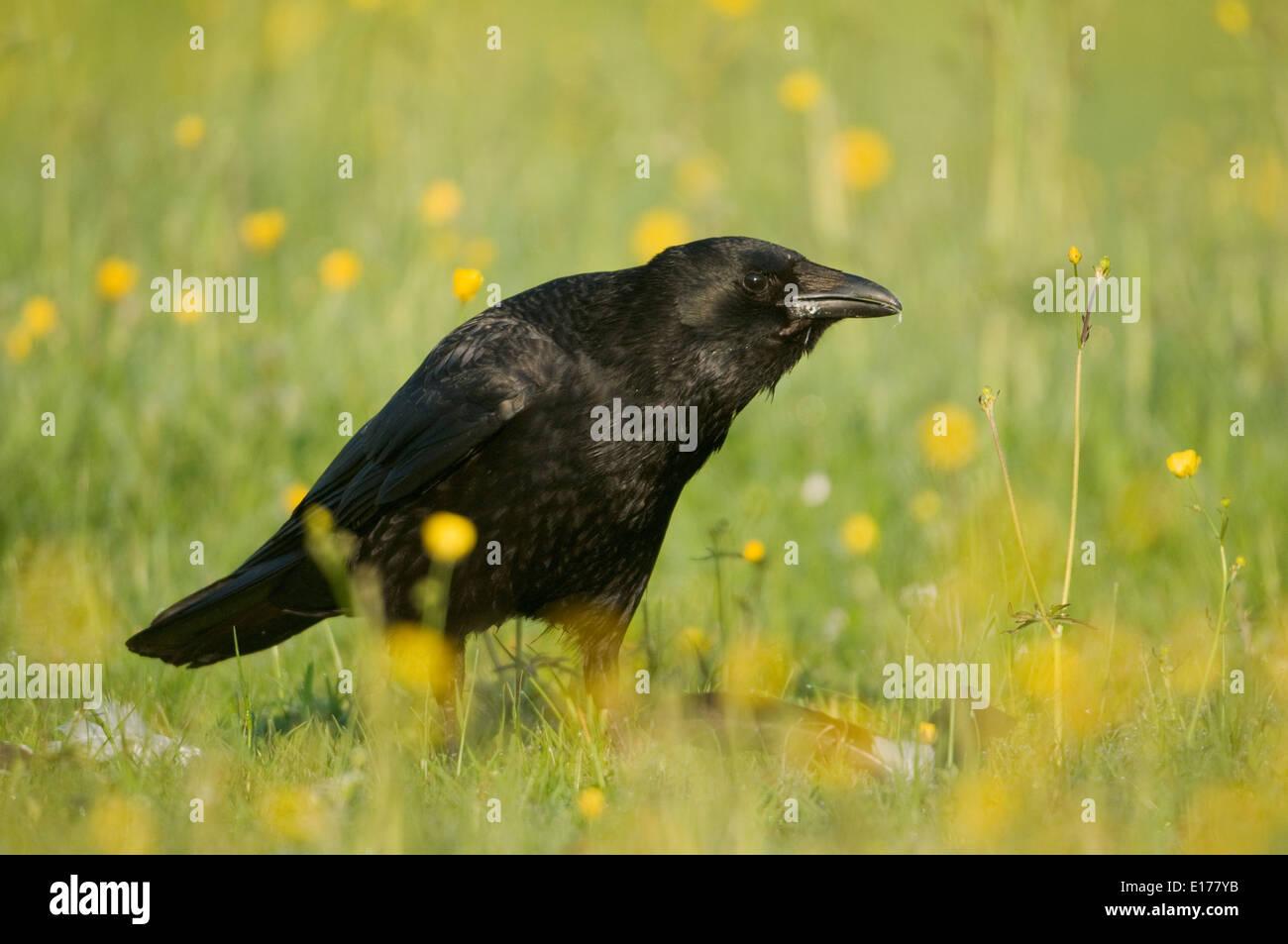 AAS-Krähe (Corvus Corone) in einem Feld von Butterblumen Stockbild