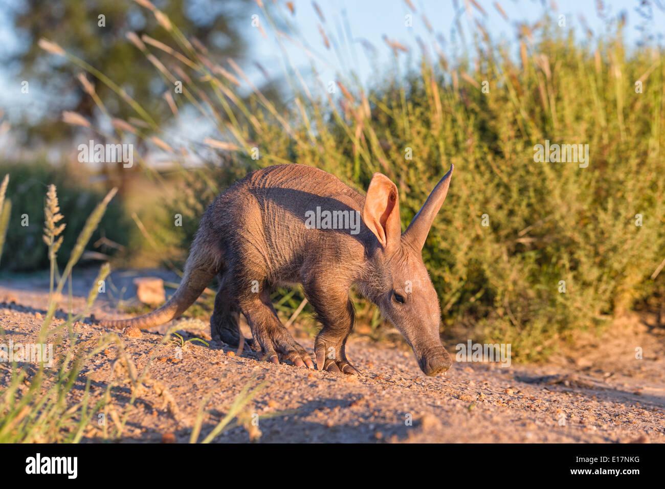 Young Aardvark(Orycteropus afer). Namibia Stockbild
