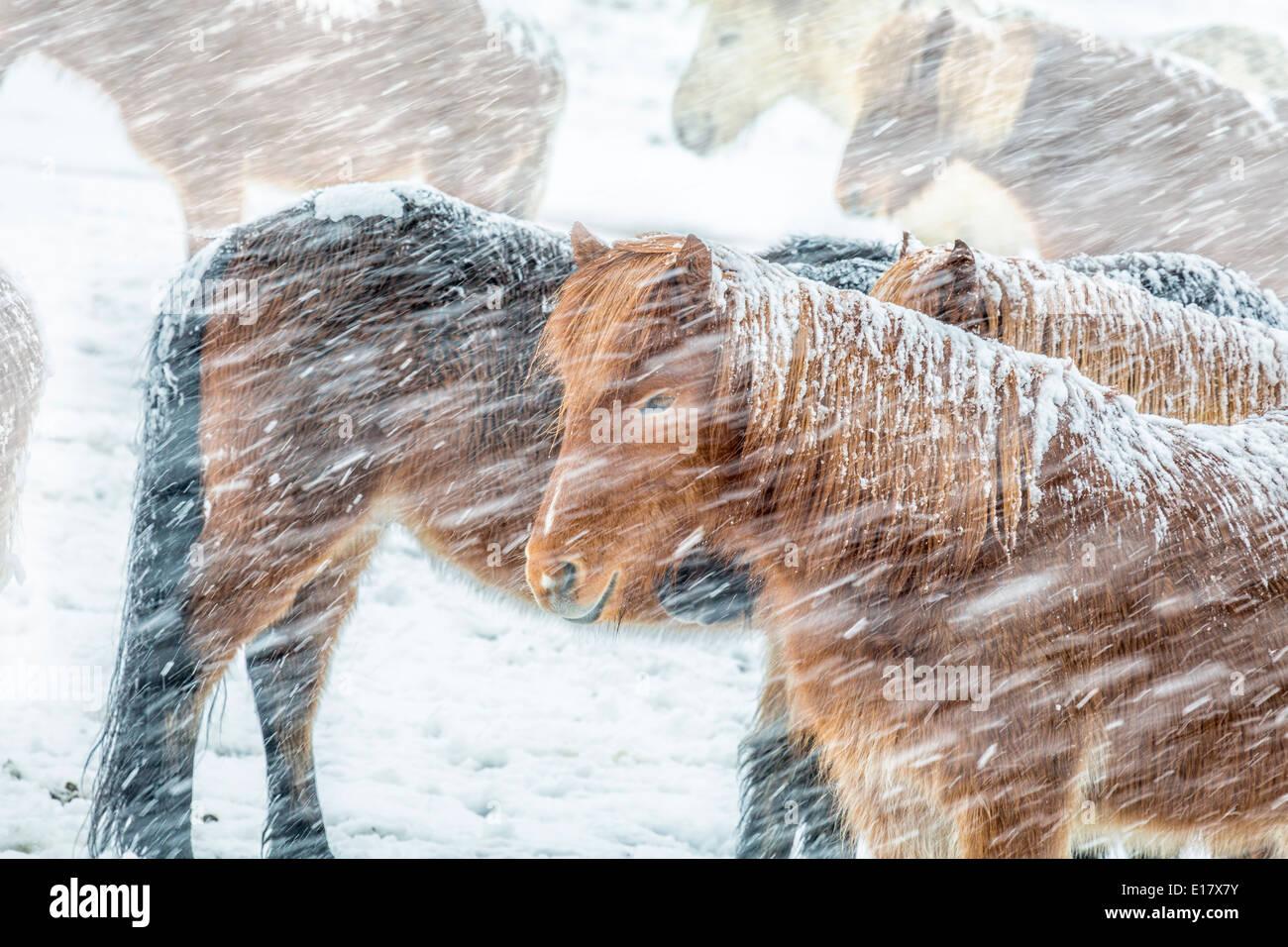 Islandpferde außerhalb während eines Schneesturms Winter, Island Stockfoto