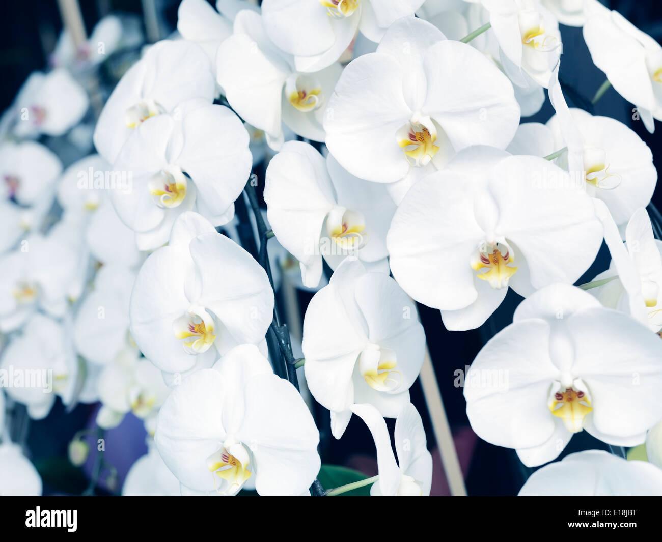 Weiße Orchideen, Phalaenopsis, floral Blumen. Stockbild