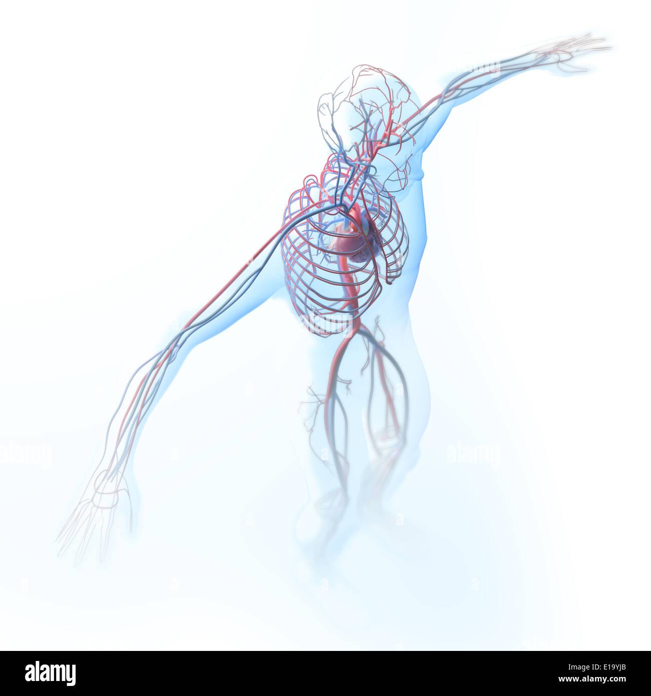 Arteries Artery Biology Brain Stockfotos & Arteries Artery Biology ...