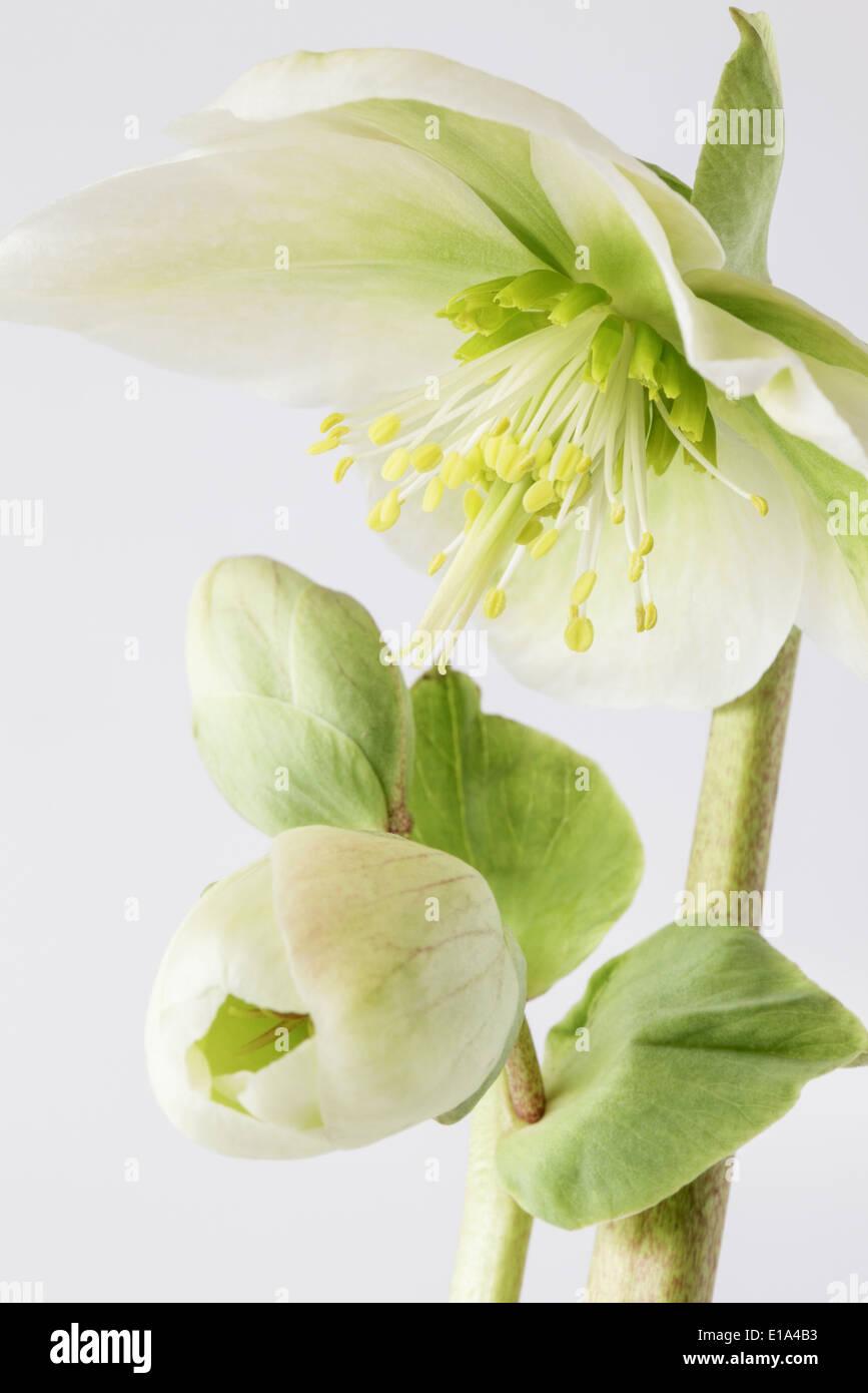 Helleborus in voller Blüte Stockbild