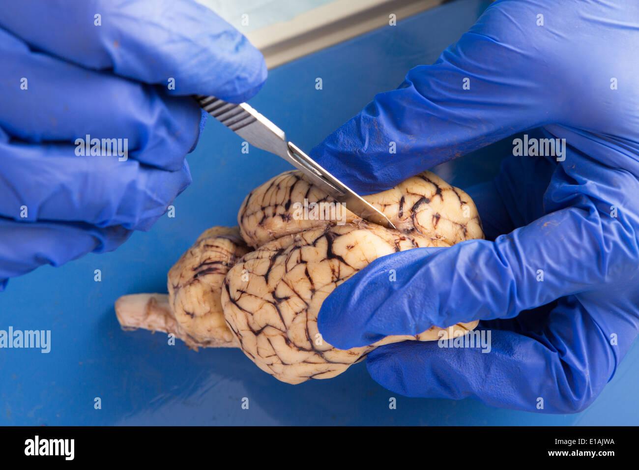 Nahaufnahme der behandschuhten Hände eines Anatomie-Student ...