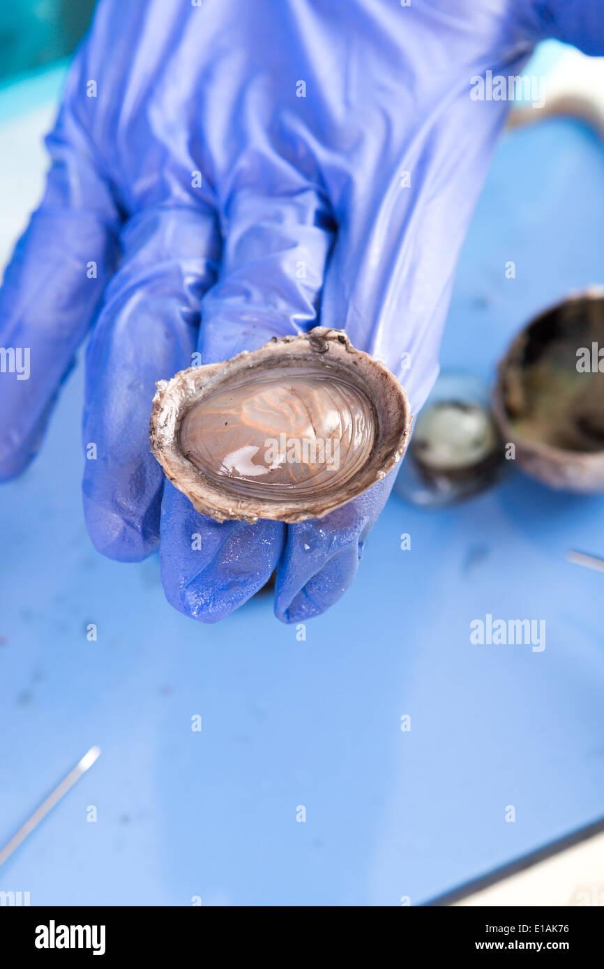 Sezieren ein Schaf Auge für Anatomie und Physiologie Klasse an ...