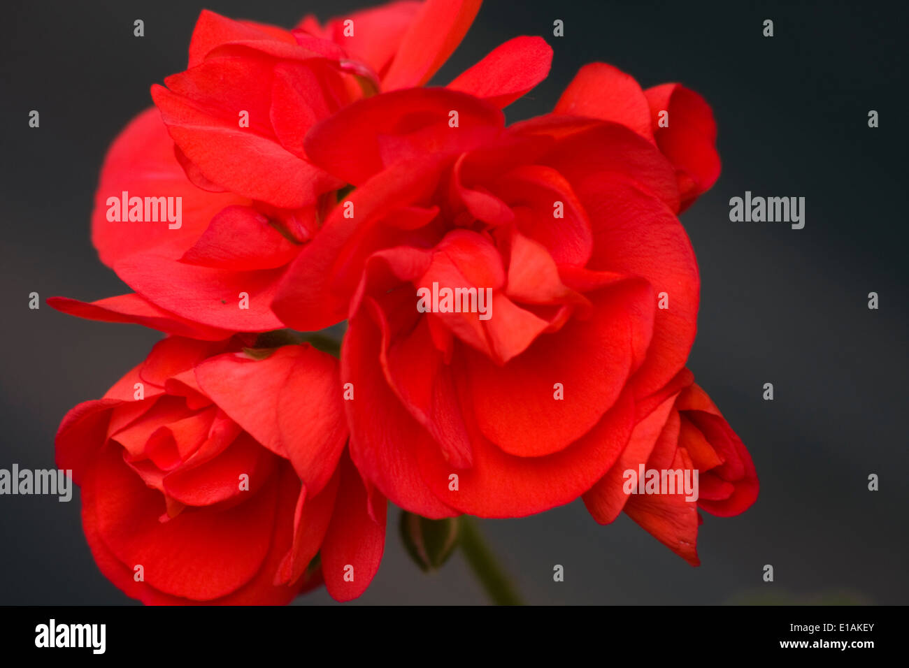 small geranium flower stockfotos small geranium flower. Black Bedroom Furniture Sets. Home Design Ideas