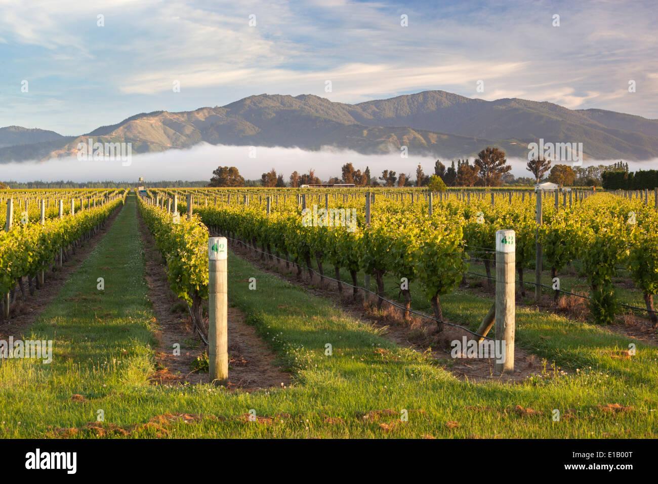 Weinberge im Morgennebel, Renwick, in der Nähe von Blenheim, Marlborough Region, Südinsel, Neuseeland, Südpazifik Stockfoto