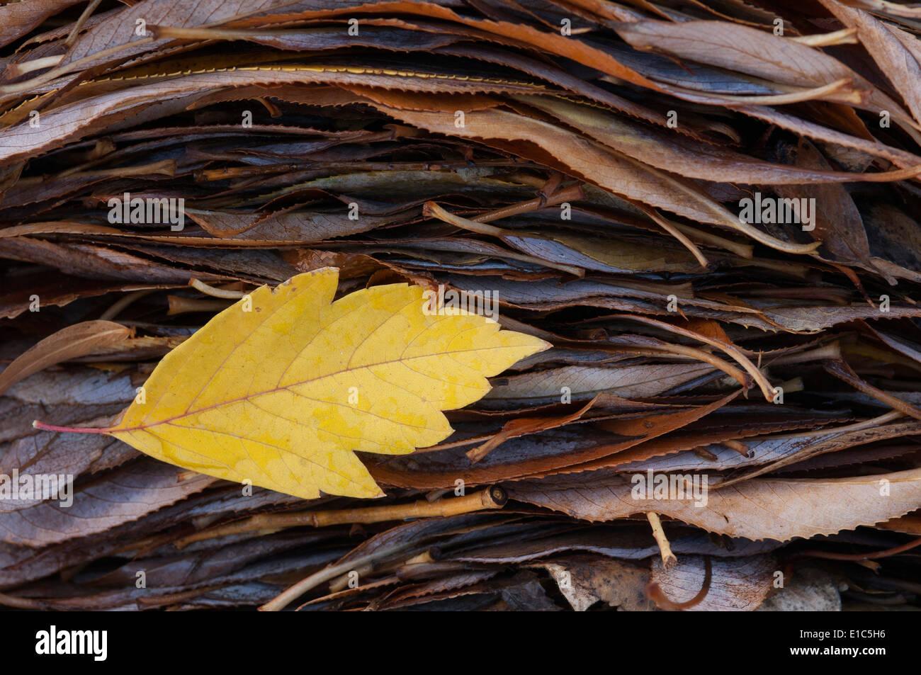 Ein einzelnes Blatt oben auf einem Stapel der Blätter im Herbst. Stockbild