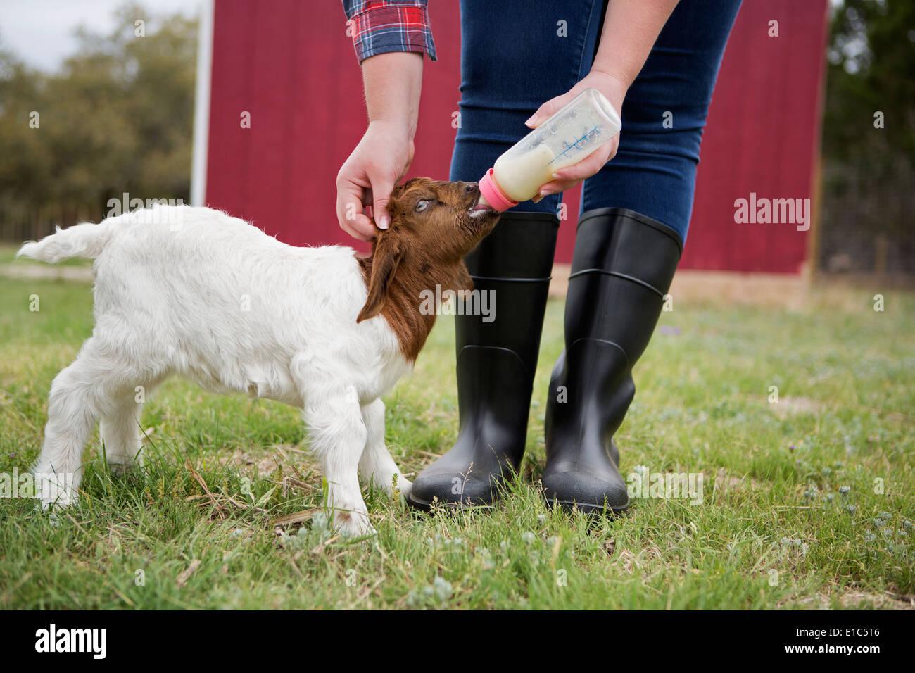 Ein Mädchen mit der Flasche füttern ein Zicklein. Stockbild