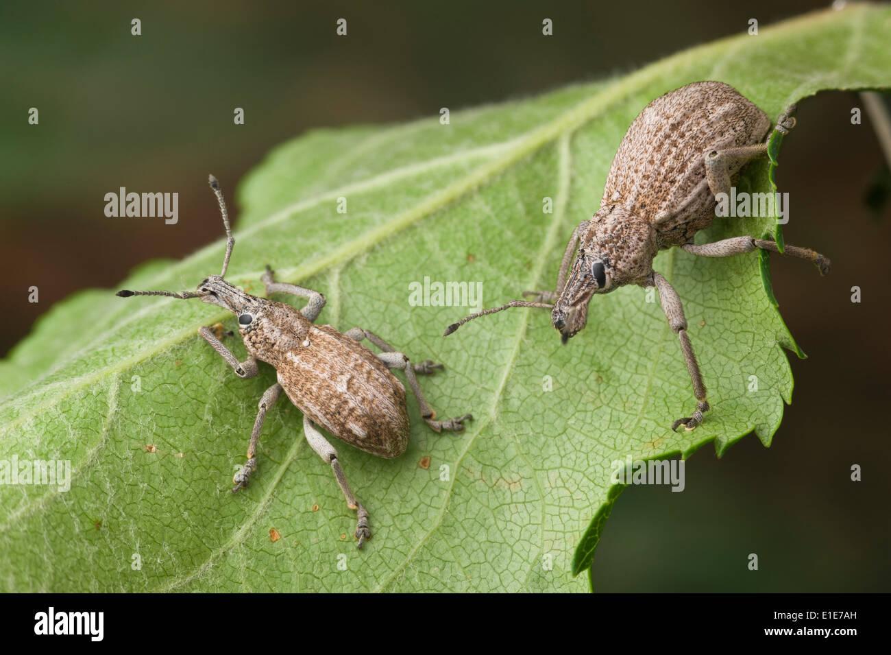 Obstbaum Wurzel Rüsselkäfer, auch bekannt als Apple Wurzel Borer, ist eine native Insekt Australiens Stockbild