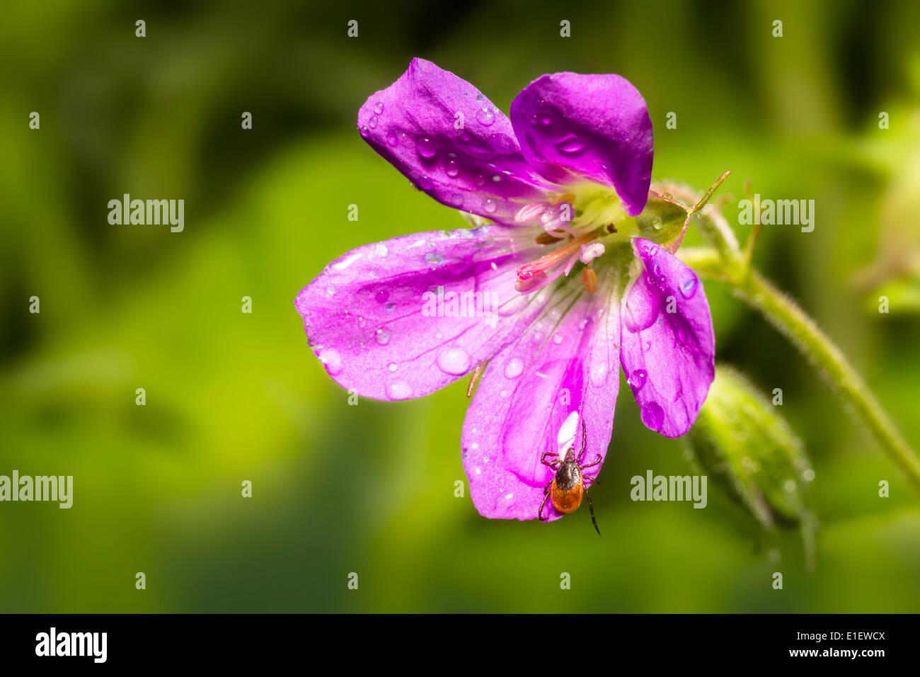 Die Rizinuspflanze Zecke (Ixodes Ricinus) Stockfoto