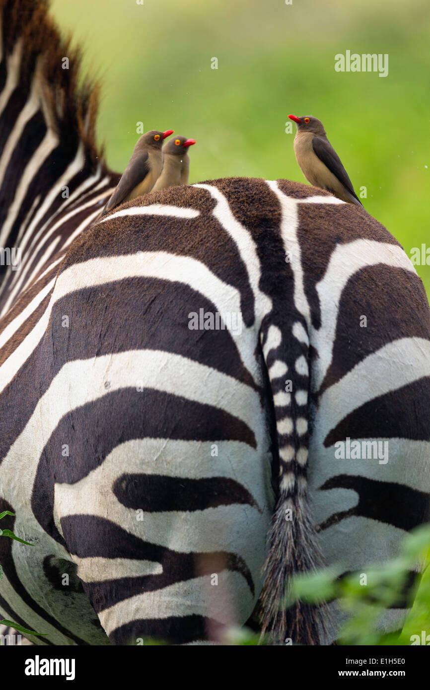 Rot-billed Oxpeckers (Buphagus Erythrorhynchus) auf Burchells Zebra (Equus Burchelli) zurück Lake Nakuru Nationalpark Kenia Stockbild