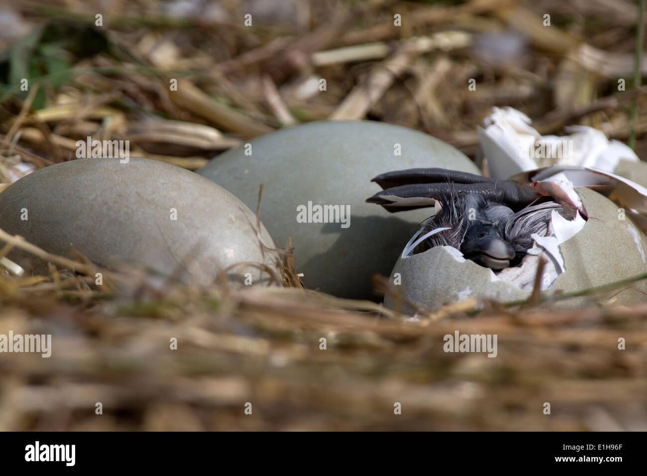 Höckerschwan Cygnus Olor Cygnet aus seinem Ei schlüpfen Stockbild