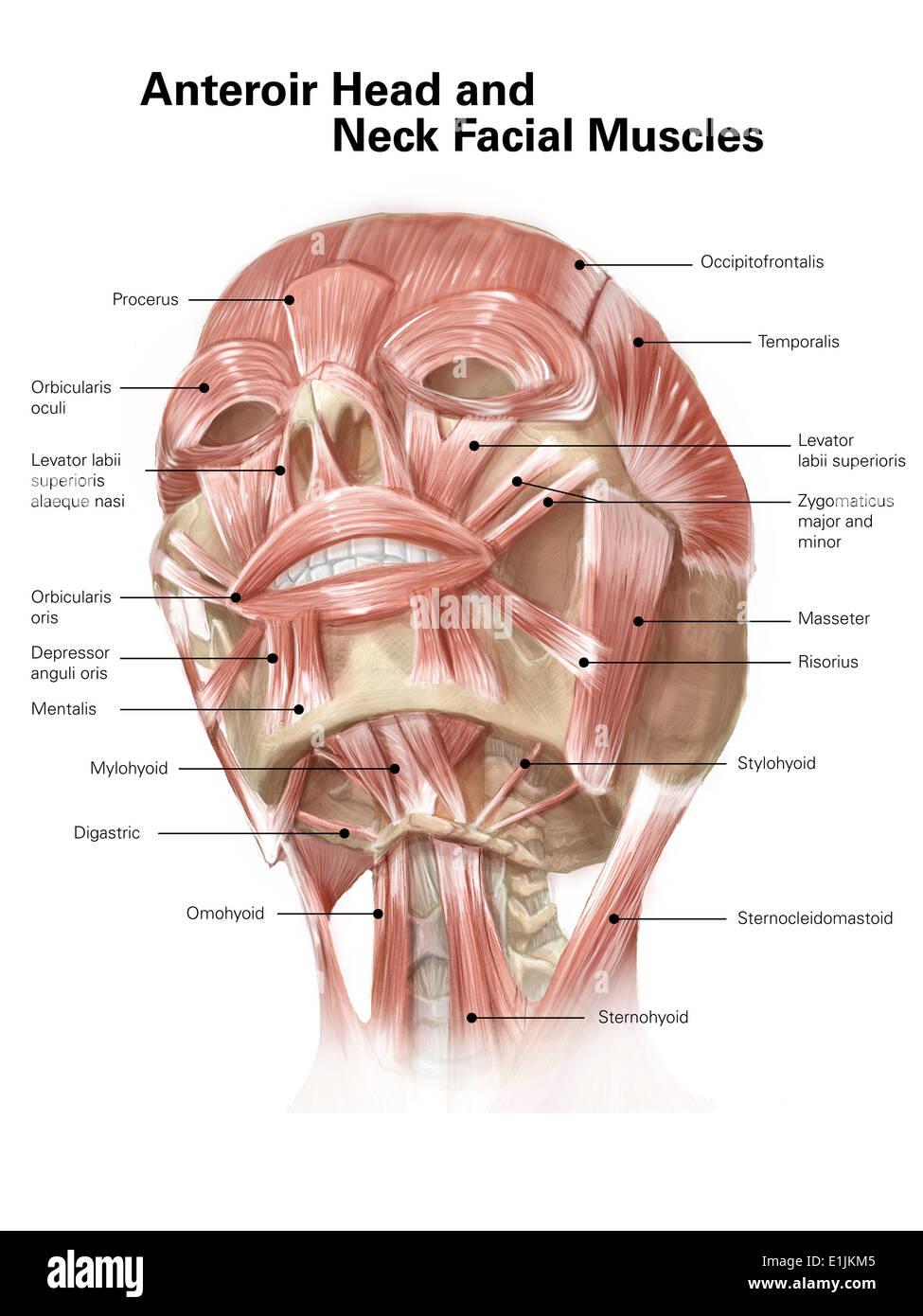 Vorderen Hals- und Gesichtsmuskeln des menschlichen Kopfes (mit ...