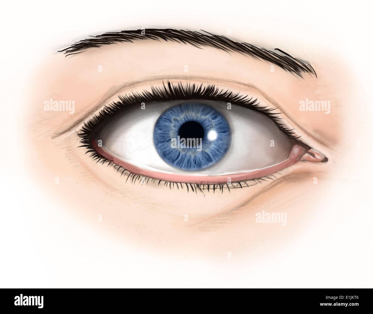 Äußere Anatomie des menschlichen Auges Stockfoto, Bild: 69866838 - Alamy