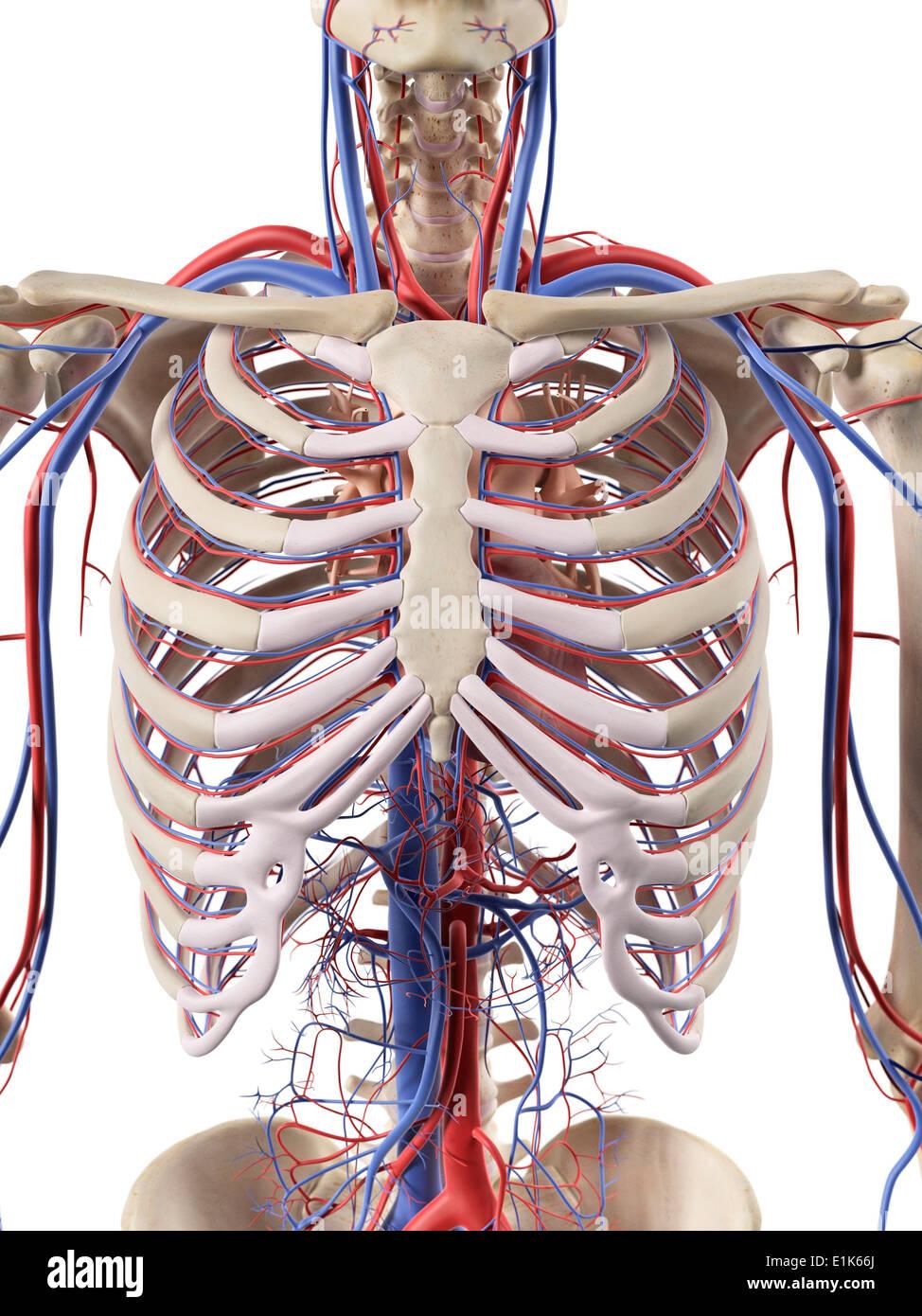 Menschlichen Blutgefäße im Brustkorb Computer Artwork Stockfoto ...