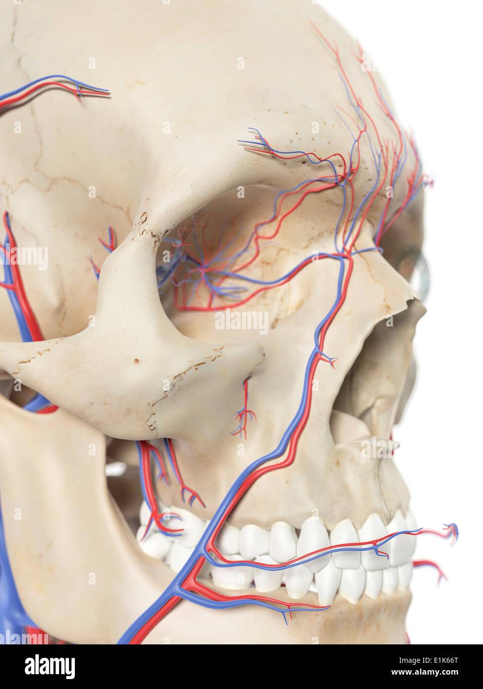Menschlichen Blutgefäße im Gesicht Computer Artwork Stockfoto, Bild ...