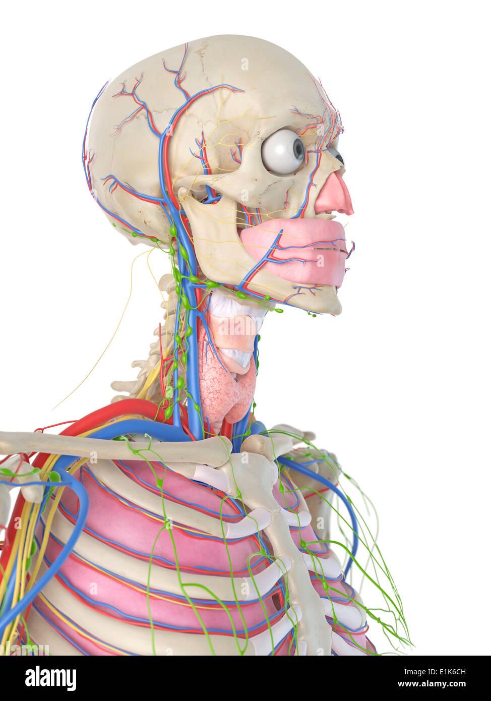 Head Blood Vessels Stockfotos & Head Blood Vessels Bilder - Alamy