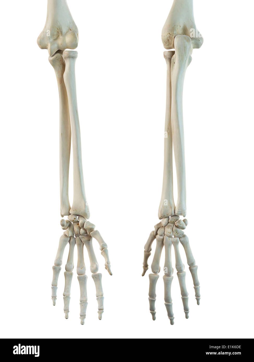 Menschliche Knochen in die Arme und Hände Computer-Grafik Stockfoto ...