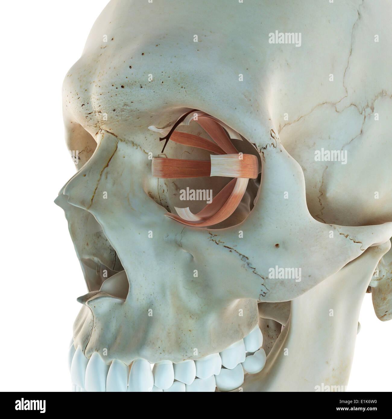 Menschliche Auge Muskeln Computer Artwork Stockfoto, Bild: 69878620 ...