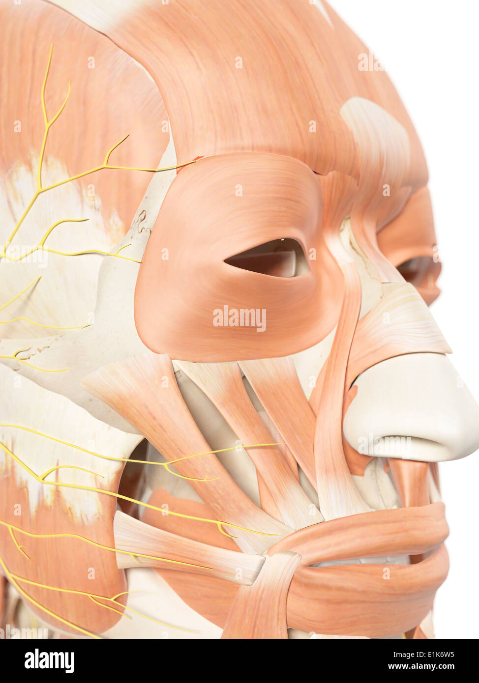 Facial Nerves Stockfotos Facial Nerves Bilder Alamy