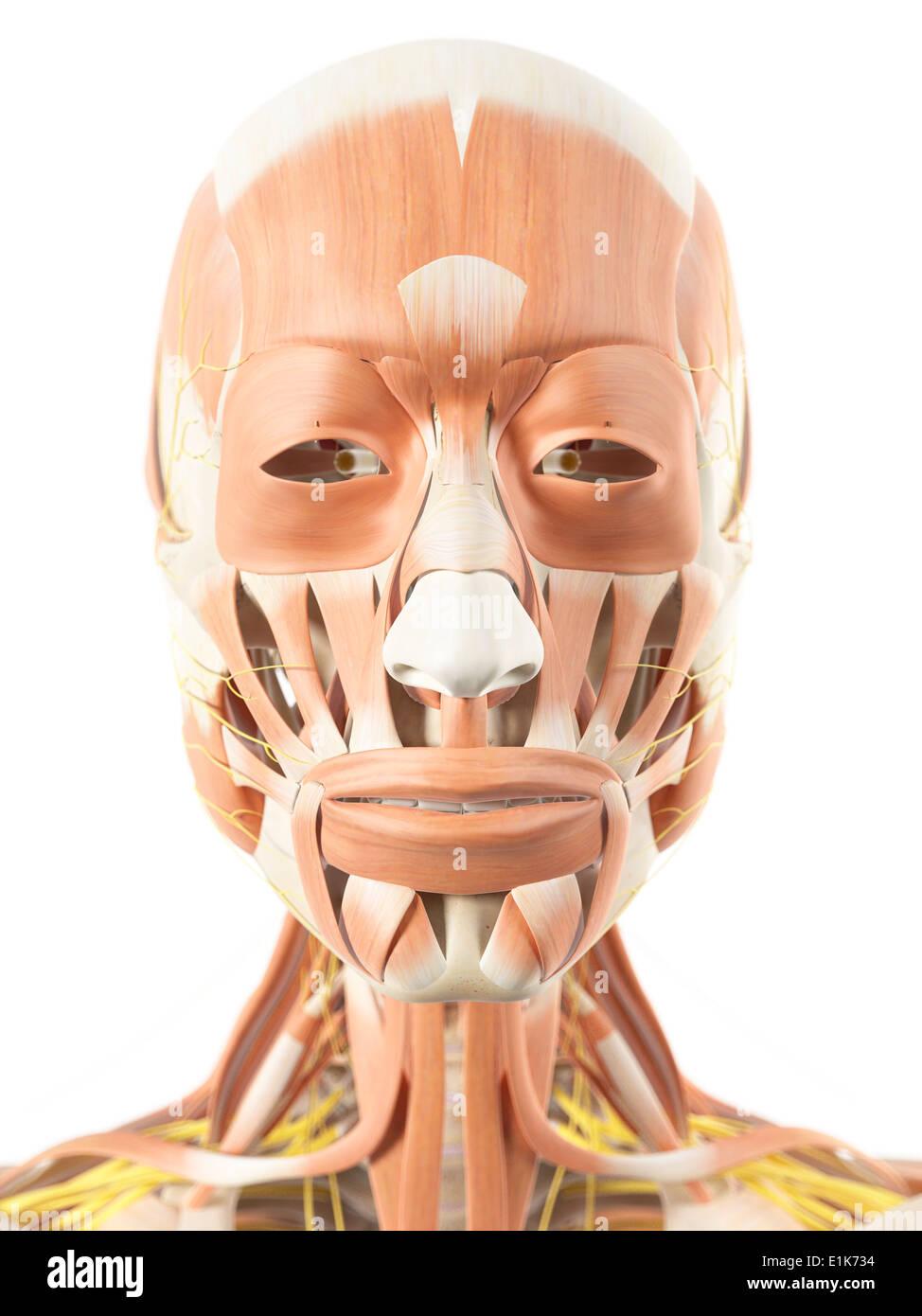 Fantastisch Muskeln Des Gesichts Galerie - Menschliche Anatomie ...