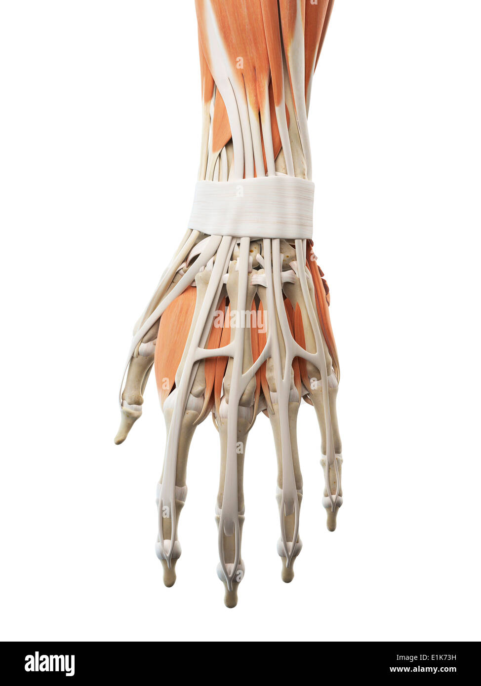 Wunderbar Menschlicher Hand Knochen Und Muskeln Fotos - Menschliche ...
