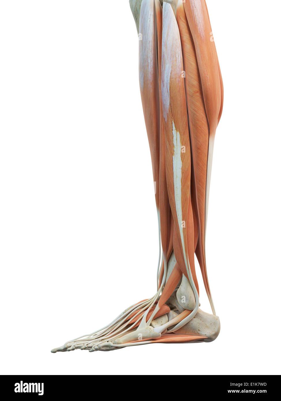 Erfreut Menschliche Beine Anatomie Zeitgenössisch - Anatomie Ideen ...