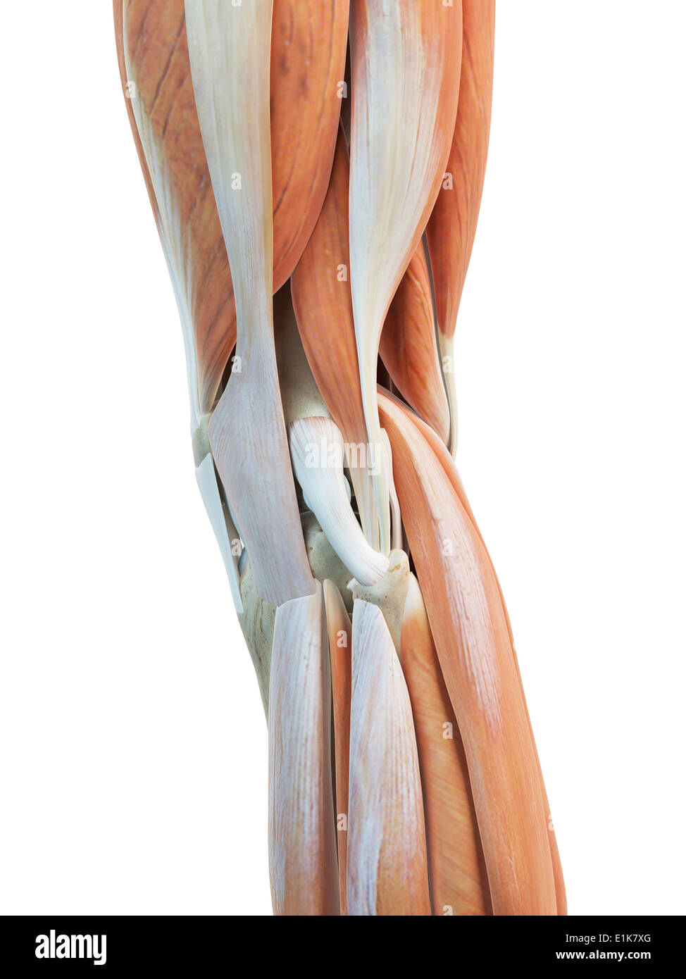 Ziemlich Knie Fächer Anatomie Fotos - Menschliche Anatomie Bilder ...