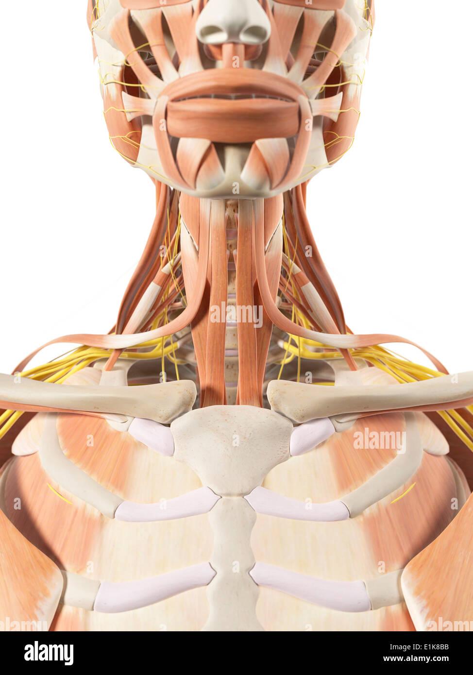 Berühmt Muskel Hals Ideen - Anatomie Und Physiologie Knochen Bilder ...