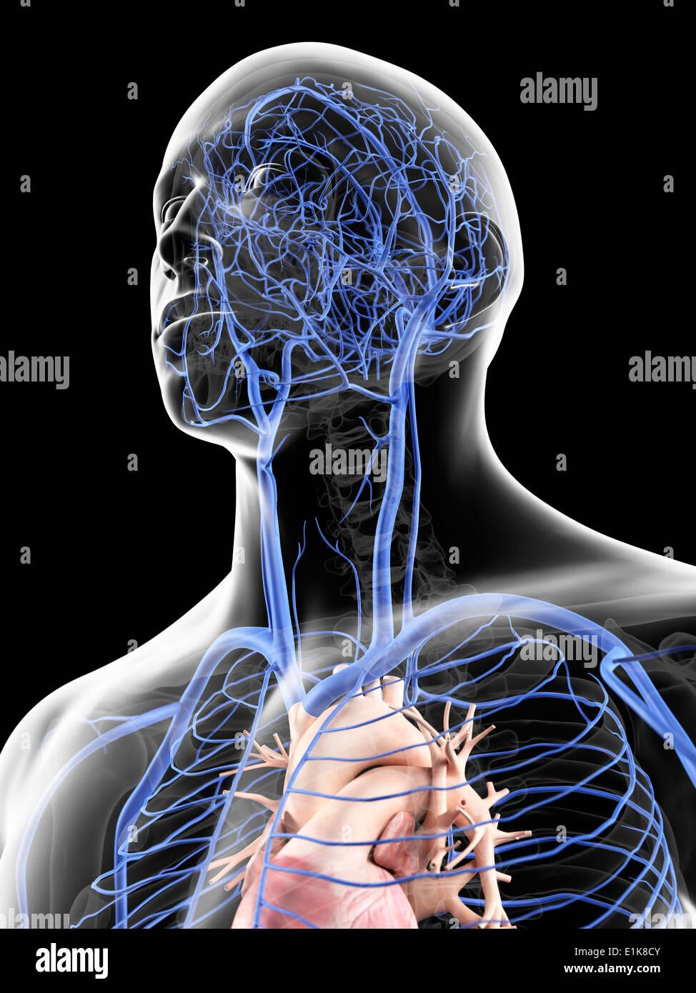 Ziemlich Menschliche Venenanatomie Bilder - Menschliche Anatomie ...