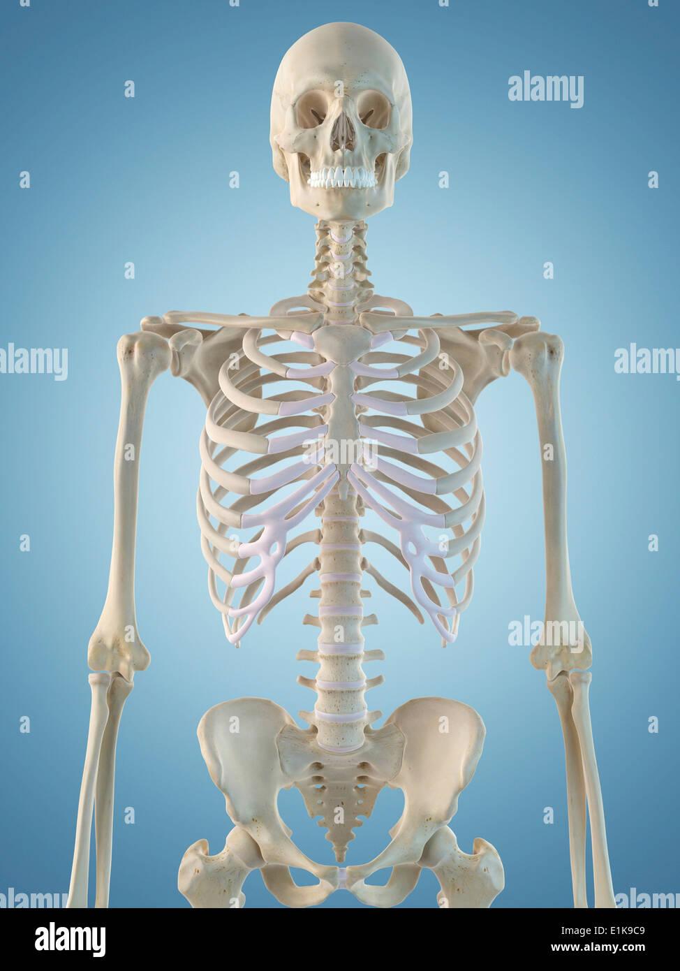 Atemberaubend Skelett Struktur Ideen - Anatomie Von Menschlichen ...