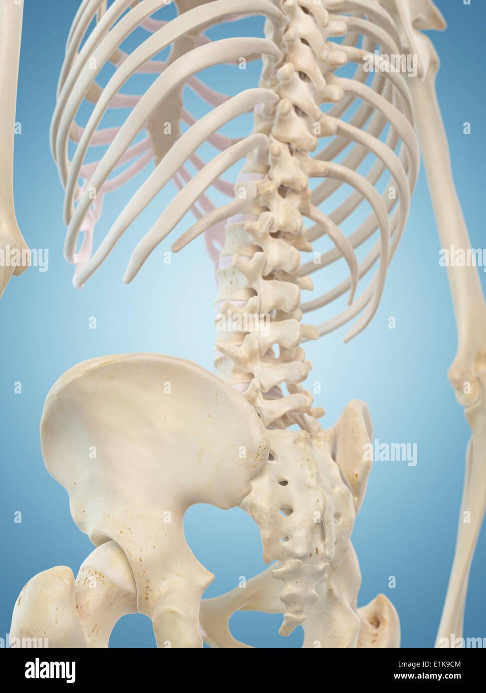 Fantastisch Menschliches Weibliches Skelett Zeitgenössisch ...
