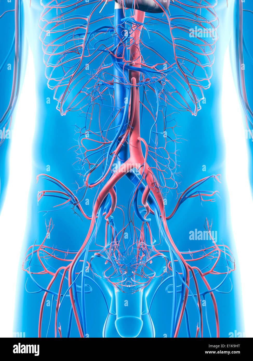 Menschlichen Bauch Blutgefäße Computer Artwork Stockfoto, Bild ...