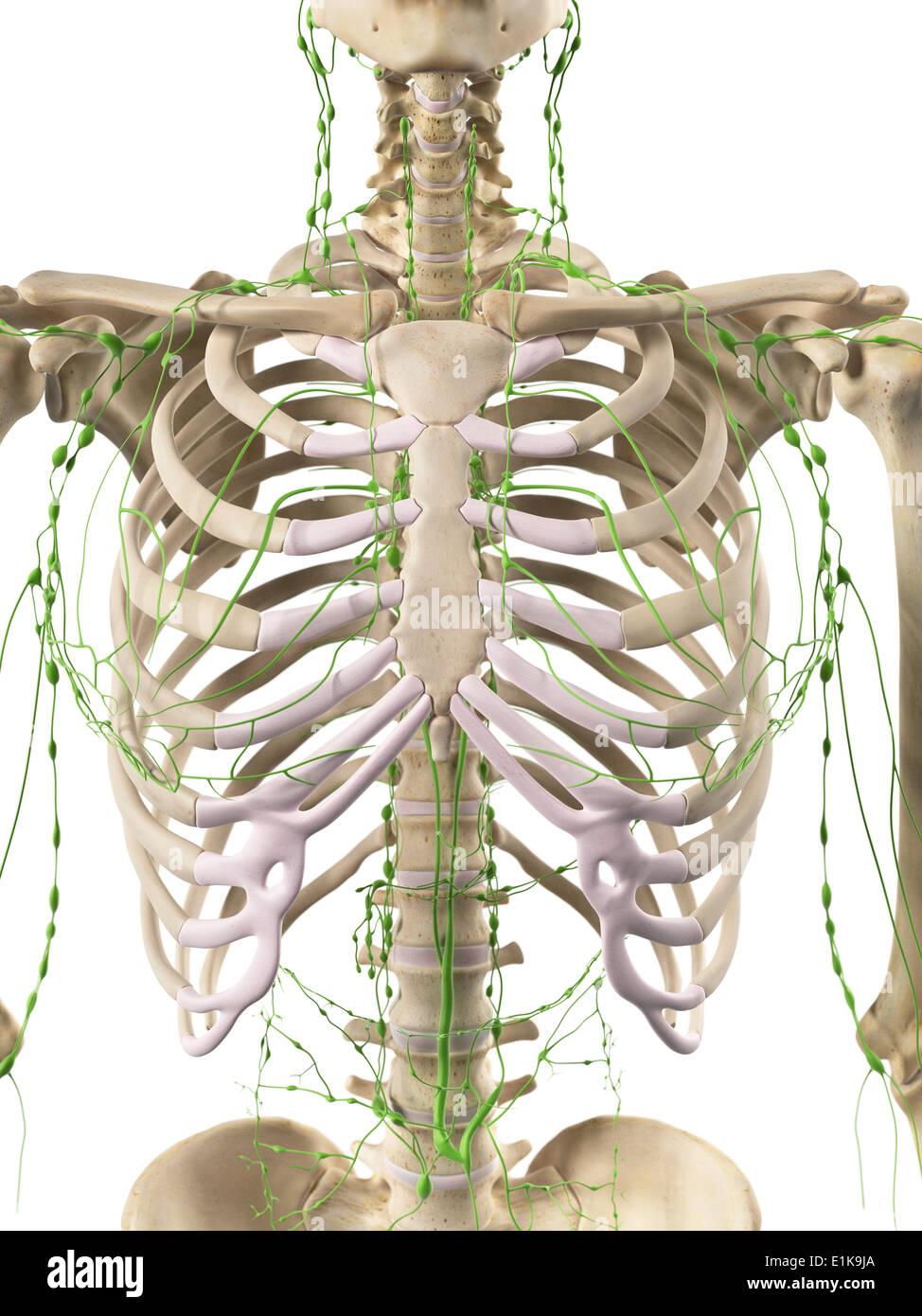 Erfreut Gekennzeichnet Diagramm Des Lymphsystems Zeitgenössisch ...