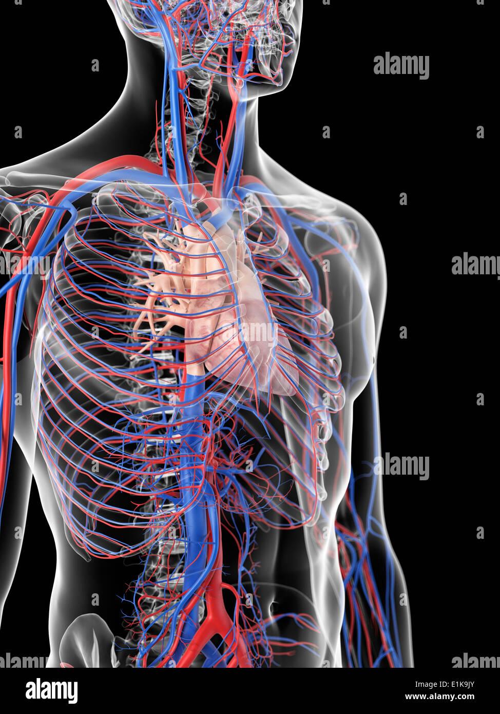 Fantastisch Anatomie Und Physiologie 2 Herz Kreislauf System Test ...