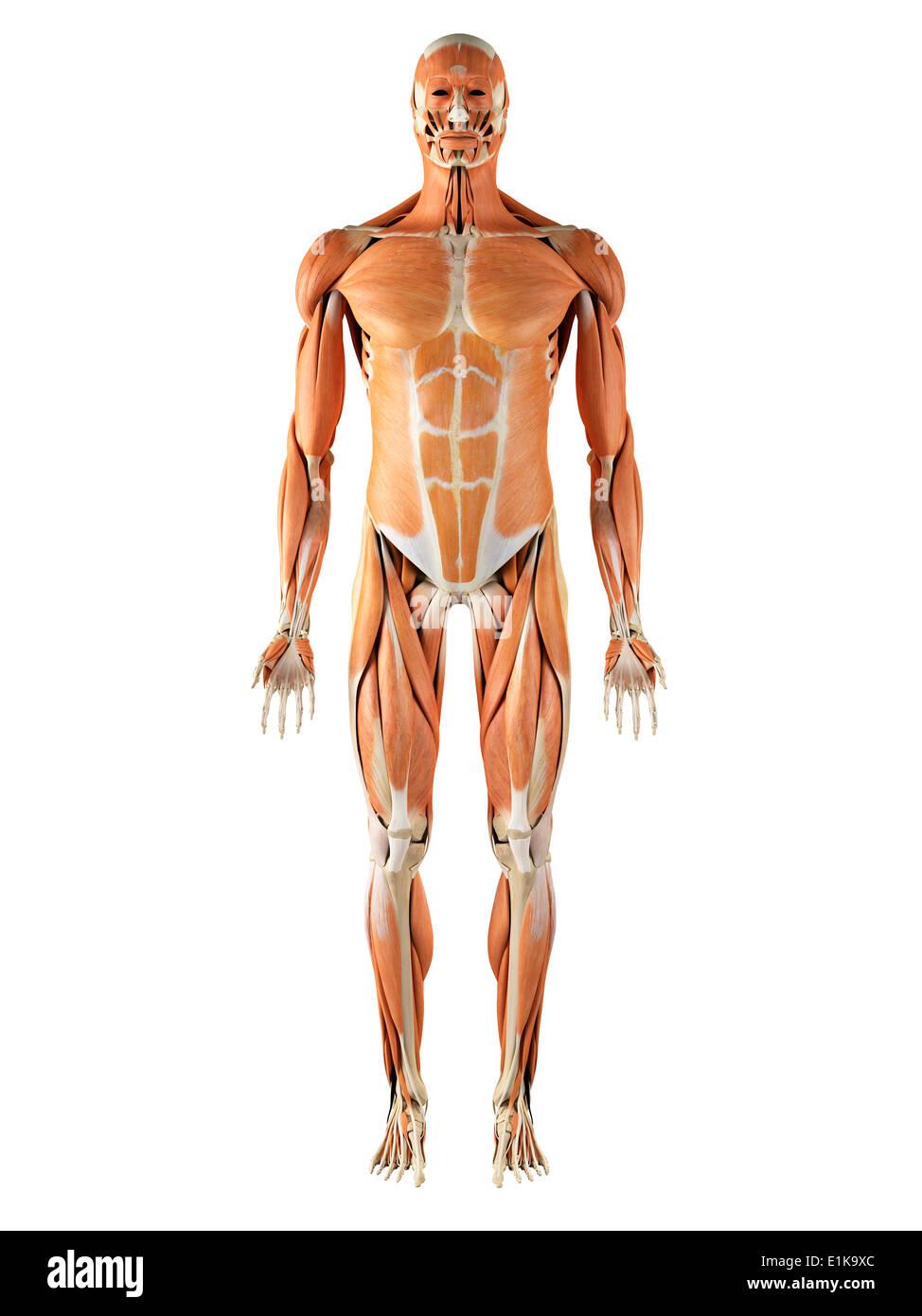 Großzügig Muskel Charts Galerie - Menschliche Anatomie Bilder ...