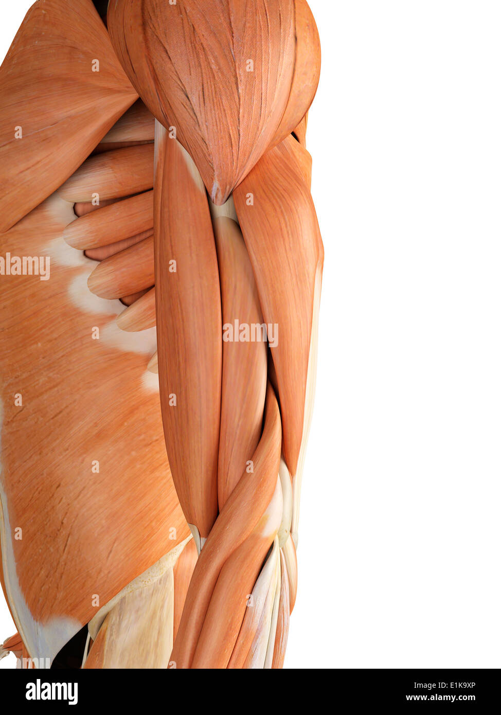 Berühmt Muskeln Arme Bilder - Anatomie Und Physiologie Knochen ...