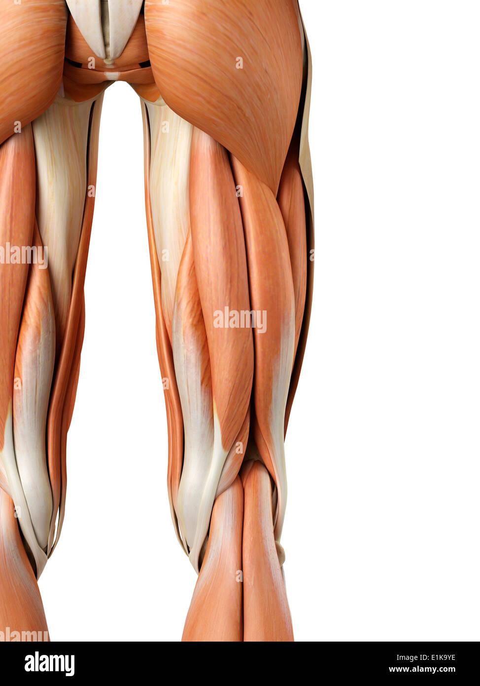 Muskeln bein