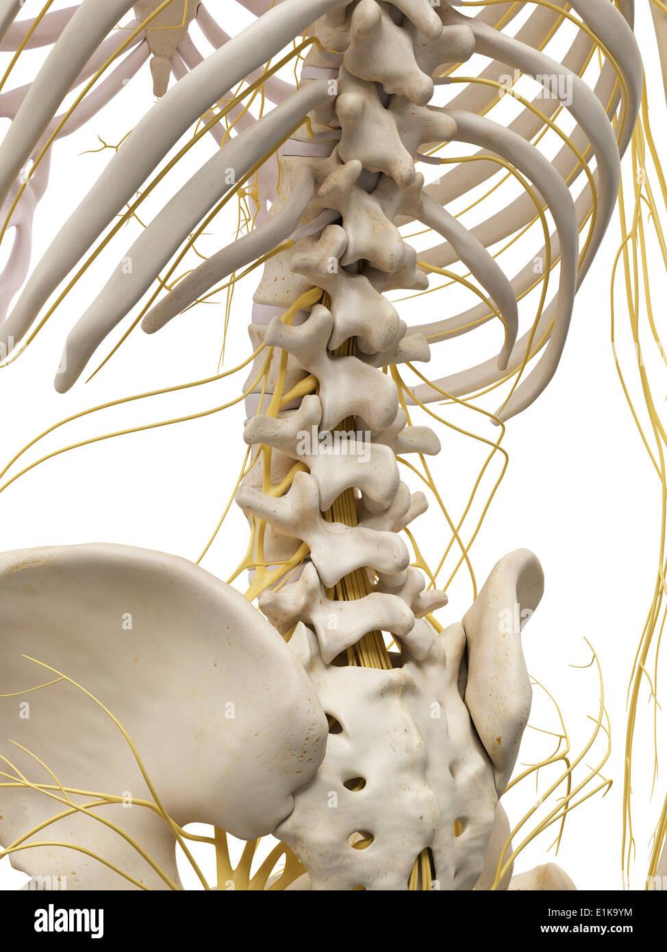 Ziemlich Anatomie Knochen Lernkarten Bilder - Menschliche Anatomie ...