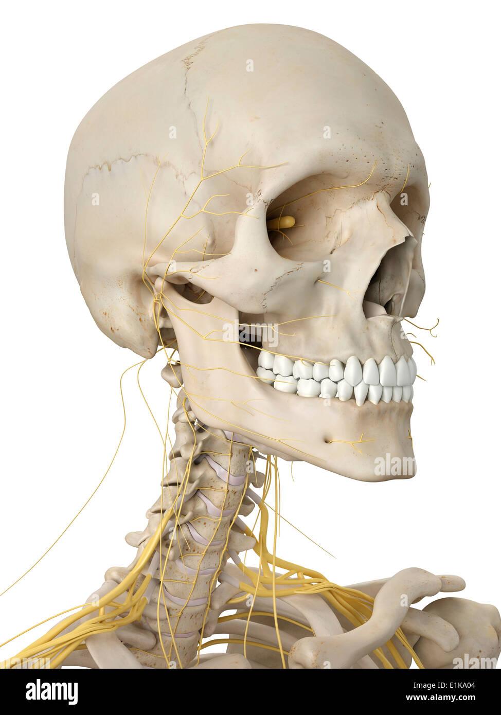 Beste Menschliche Knochen Anatomie Quiz Fotos - Anatomie Ideen ...