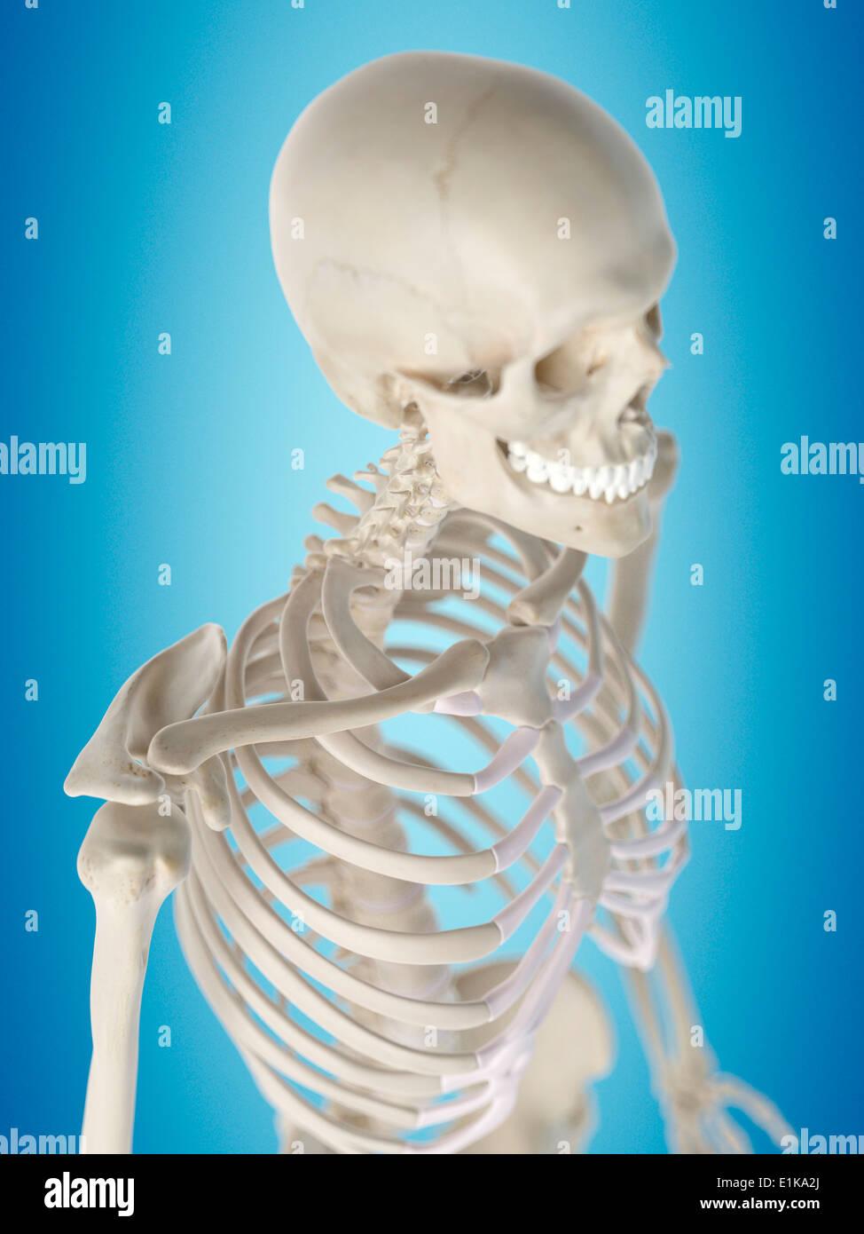 Menschlichen Brustkorb Anatomie Computer Artwork Stockfoto, Bild ...