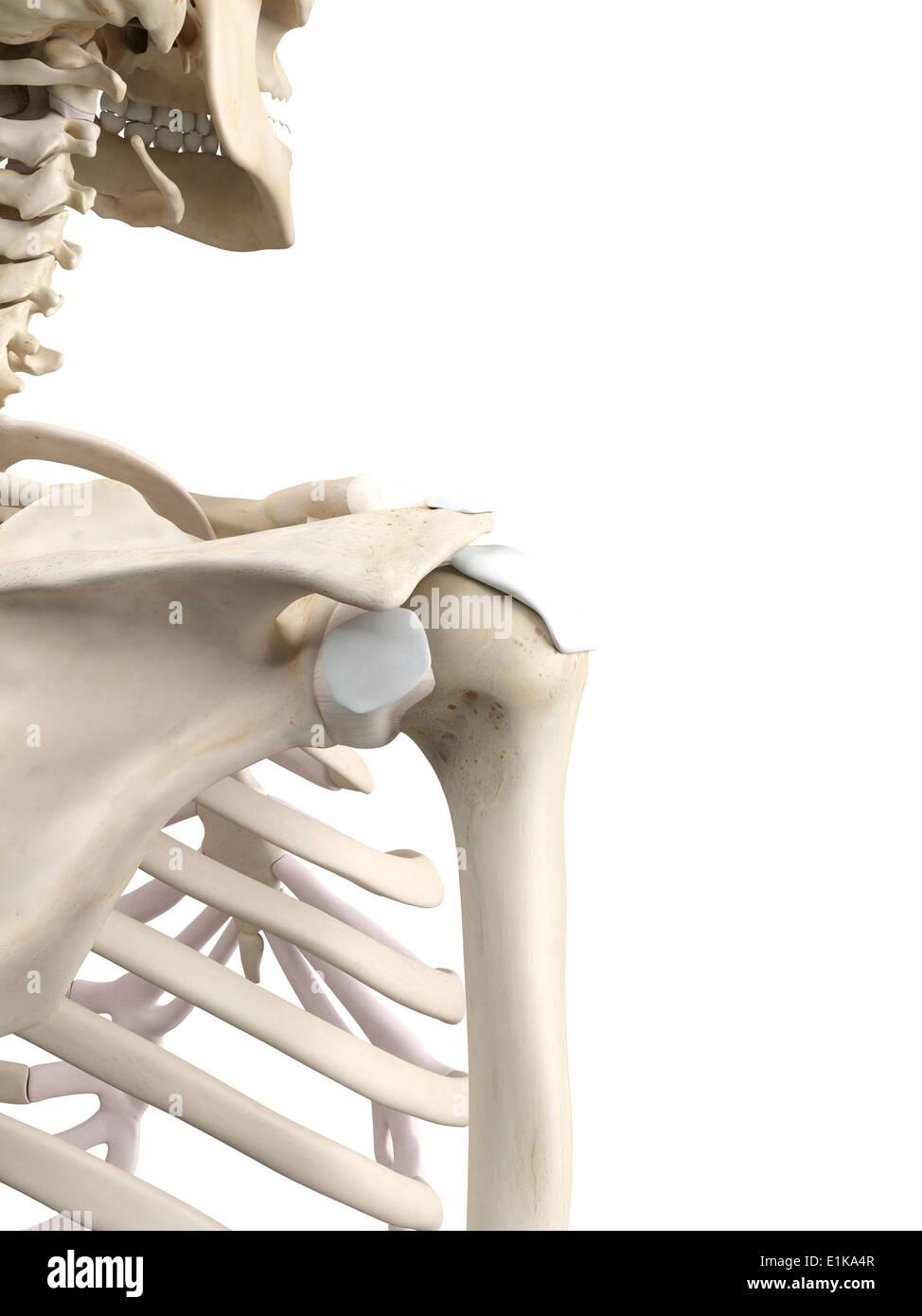 Atemberaubend Schultersehnen Diagramm Fotos - Menschliche Anatomie ...